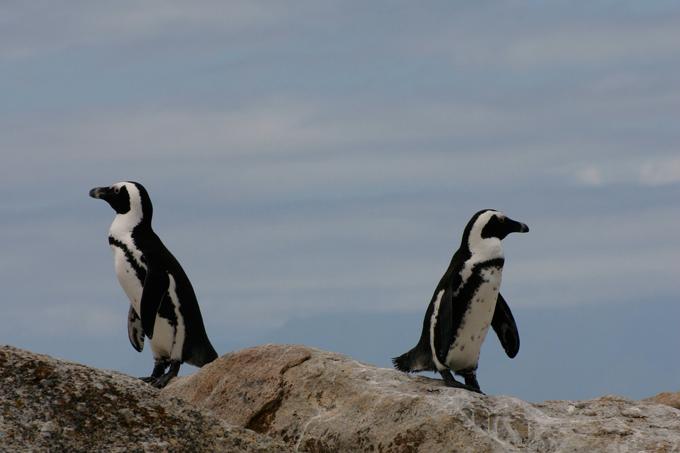 岩の上にいる2匹のペンギン