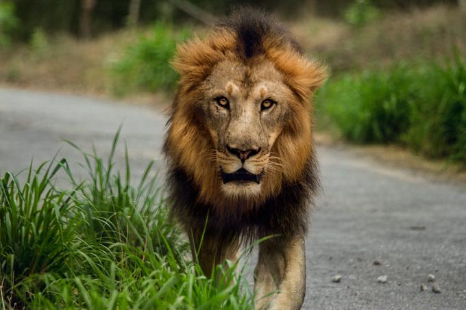 迫ってくるライオン(修正前)