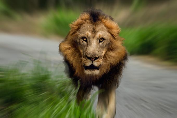迫ってくるライオン